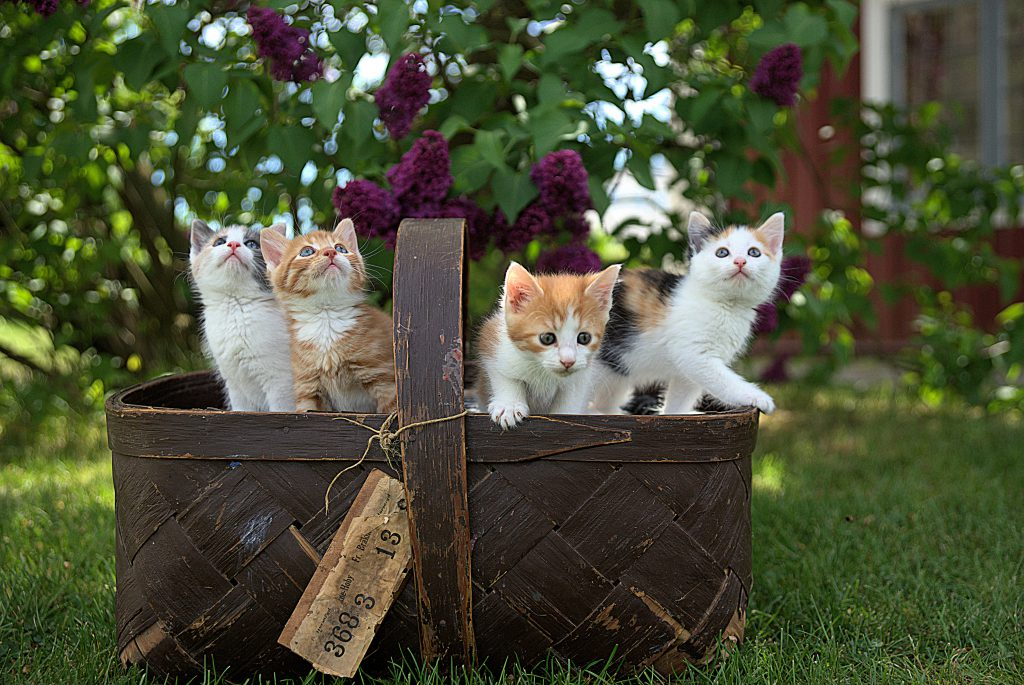 Kittens in a picnic basket